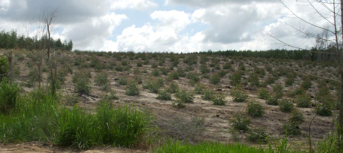 Foto: Nyleg planta eukalyptus.