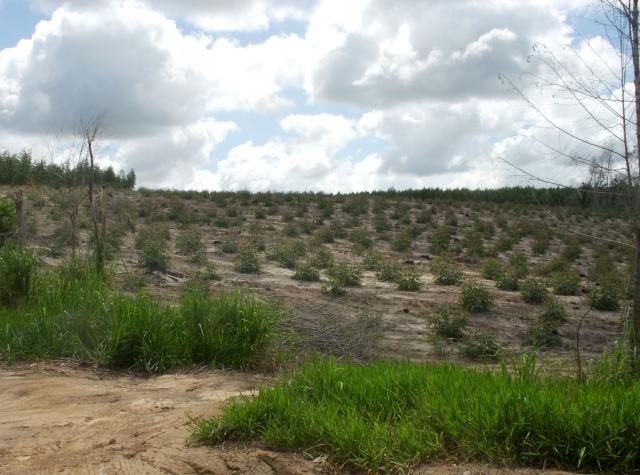 Foto: Nyleg planta eukalyptus pregar landskapsbilete rundt quilomboen São Domingos.